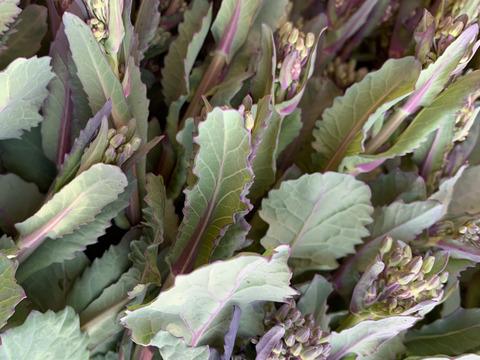 自然栽培のおいしい【のらぼう菜】約500g