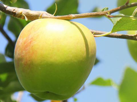 濃厚な甘さ!フルーティーな香り! 青森県を代表する黄色いりんご トキ 4.5kg