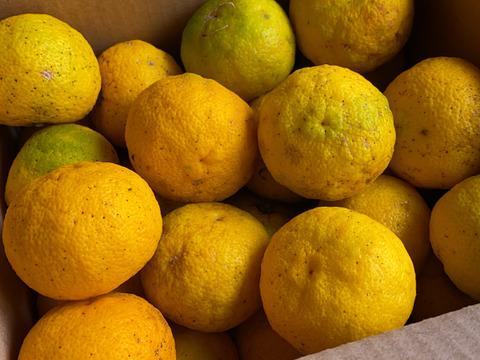 皮まで美味しい!極小玉 自然栽培 黄柚子3k(50玉前後)(チルド発送)