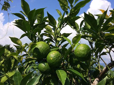 自然栽培 青柚子15個