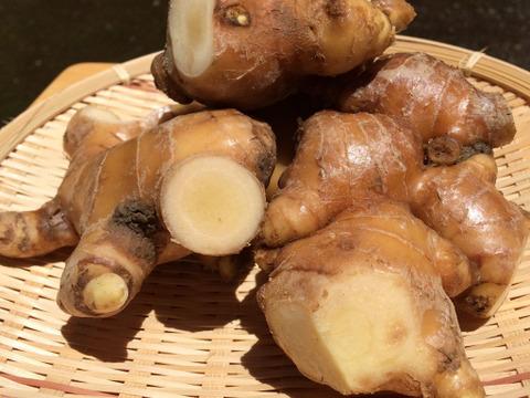 【高知県産】無農薬無化学肥料・鰹乃國の生姜・加工用 1㎏