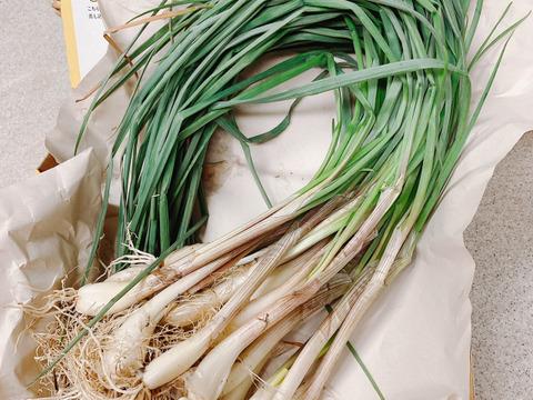 エシャレット 500g入り 【農薬不使用】 ♪ 葉付き、根付き♪ らっきょうの若採りです 食べて健康に!! 辛味が少なくしゃきしゃき感がクセになりそう【限定10セット】
