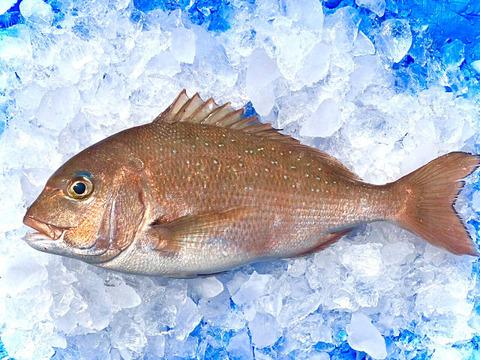 長崎県産の養殖真鯛1kg〜1,2kg1尾 ※内蔵、鱗処理済