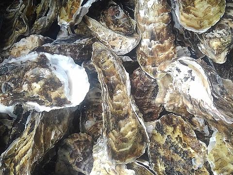 割れてしまって可哀そうな牡蠣★5kg★加熱用 宮城県産 殻付き牡蠣 牡蠣 殻付き 殻付 カキ 松島牡蠣屋