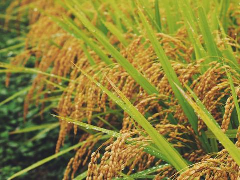【こしひかり】【玄米 10kg】 令和元年収穫 山形県飯豊町産
