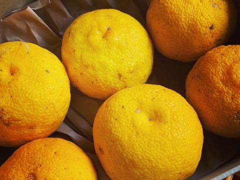 皮まで美味しい!自然栽培 黄柚子6玉(チルド発送)