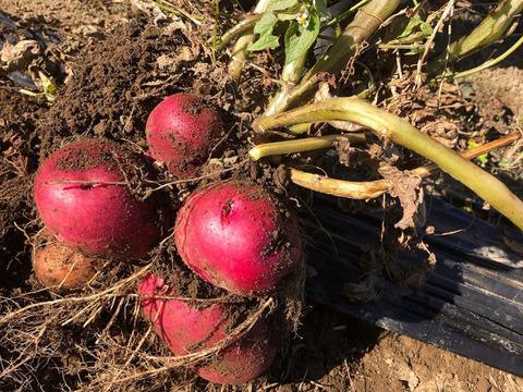 数量限定【富士山の麓から】農薬化学肥料不使用で栽培した秋の新じゃが掘りたてアンデスレッド