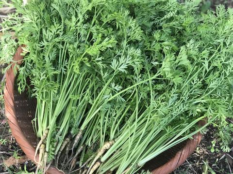 【無農薬・無肥料】柔らかくて食べやすい!葉にんじん500g(人参の間引き菜)