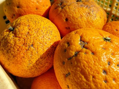 The citrus【Dandy Beni AMANATSU】ダンディ紅甘夏 約4.5kg