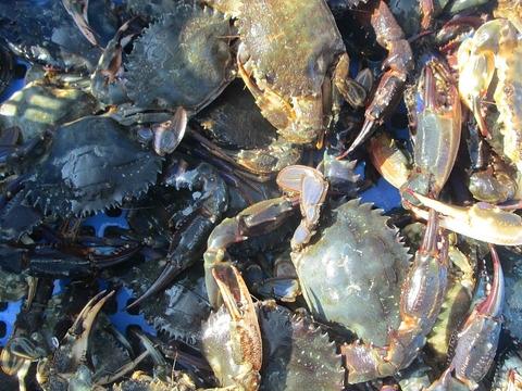 【緊急値下げ】生出荷!食用イシガニ 石蟹4kg 活状態での梱包 松島牡蠣屋 漁師の店長自ら漁獲です!目安:4kgで40杯程度