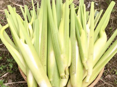 【無農薬・無肥料】ほのかな甘み、マコモダケ(マコモタケ、真菰筍)1.5kg