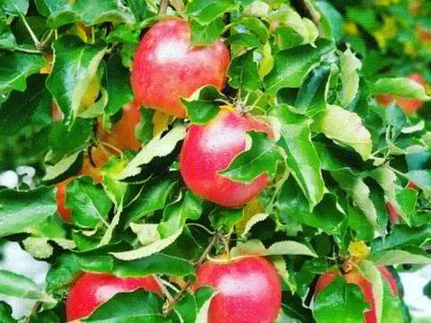 ※予約完売となりました❗ まるで食べるリンゴジュース☆超完熟葉とらず栽培ジョナゴールド✨大玉5kg