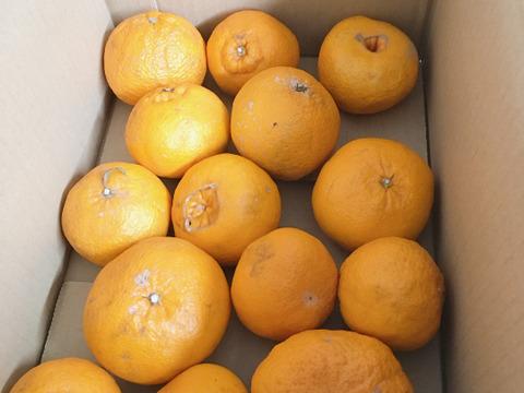 傷多め不知火5キロ 家庭用みかんがミシミシ詰まってお試し柑橘の王様デコポンと名乗れないけど不知火(しらぬい) 家庭用段々畑育ち