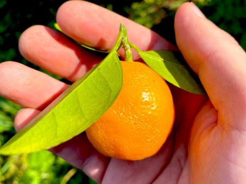 The citrus【not KINKAN but KINKAN】金柑 500g