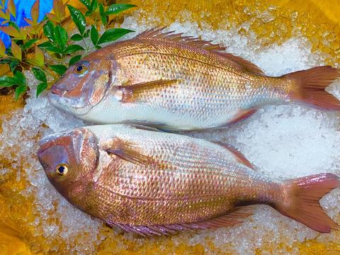 新規登録のため100尾限定価格 長崎県産養殖真鯛 1.5キロサイズ 2尾  鱗と内臓処理済み。