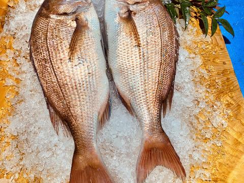 新規登録のため100尾限定価格 長崎県産養殖真鯛 1キロ〜1.2キロサイズ 2尾  鱗と内臓処理済み。  熨斗付き可