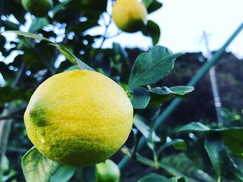 【熱海産♨農薬不使用】日本レモン発祥の地「熱海レモン」A(Ace)チーム 約1kg
