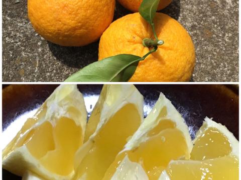 食べチョクセット 甘夏1キロとニューサマーオレンジ1キロセット