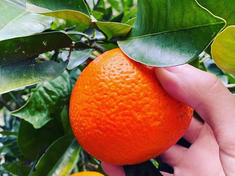 【熱海産♨️農薬化学肥料不使用】熱海特産ビターオレンジ2020(橙/ダイダイ)約4kg