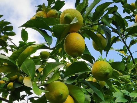 大崎上島産無農薬レモン2kg