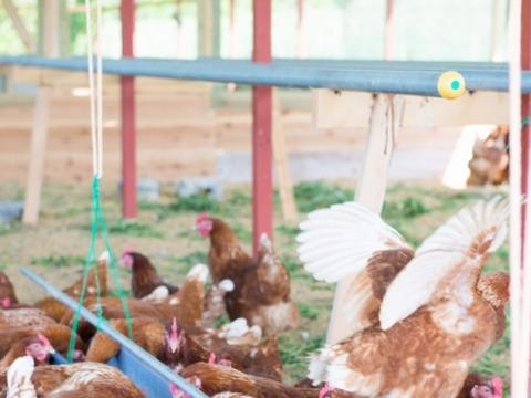 京都奥丹波 純国産鶏の平飼い卵160個 非遺伝子組み換え飼料