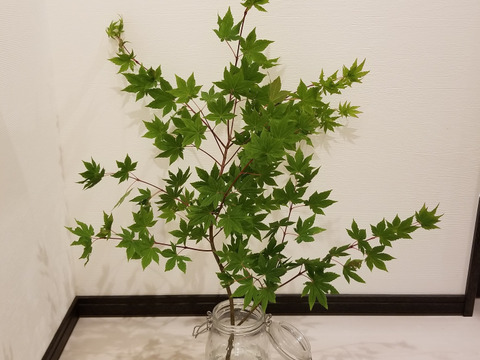 ★オーガニック花木予約販売★《季節の枝モノでグリーン豊かな生活を!》モミジ(90㎝)