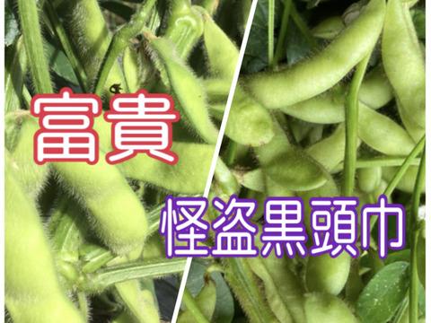 丹波産‼️今しか食べれない‼️食べ比べセット❗️枝無し400g✖️2‼️ 8月13日発送です。