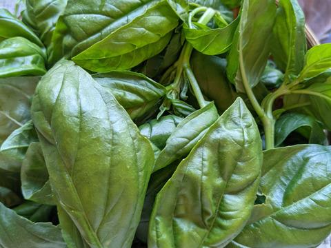 【農薬化学肥料不使用】朝摘みで、香り豊かな バジル 300g