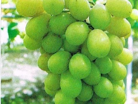 予約8月末終了 高級シャインマスカット1.5kg 3房 樹上完熟の適期摘熟収穫をお楽しみください。発送は9月20日~30日 化粧箱