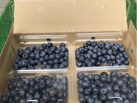生で美味しい! 新鮮完熟ブルーベリー(1kg)農薬不使用