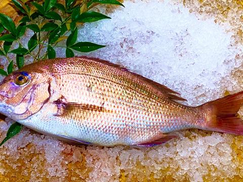 新規登録のため100尾限定価格 長崎県産養殖真鯛 1.5キロサイズ1尾  鱗と内臓処理済み。