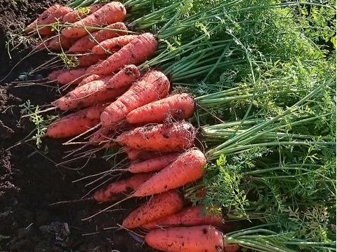 収穫翌日に有機・無農薬にんじんをお届け♪(10kg)