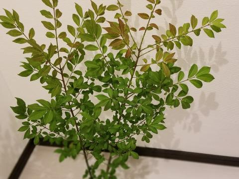 ★オーガニック花木予約販売★《季節の枝モノでグリーン豊かな生活を!》ヤマニシキギ(90㎝)