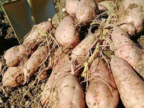 南国高知のサツマイモ3種の食べ比べセット