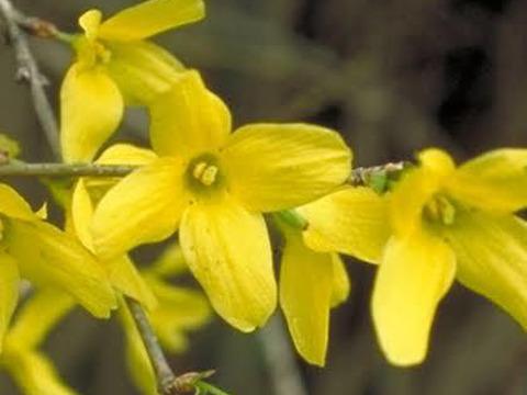 【観賞用 花・植物】【レンギョウ】【約20cmポット】【内容量1ヶ】
