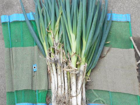 春ネギ 葉も食べられる白ネギ 泥付き 2kg エコファーマー認定 減農薬