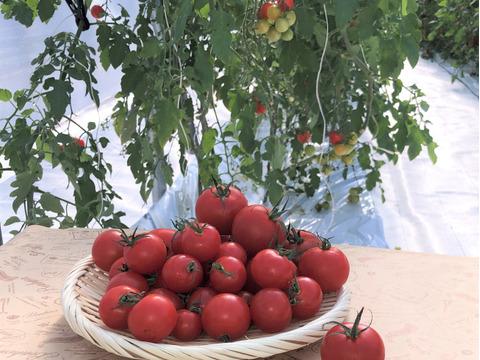 あなたのご意見、お聞かせください!甘くておいしい「きらベジトマト」3品種おためしセット。合計1.2kg以上のボリュームです!