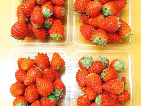 パクパクが止まらない!小粒いちご。 瀬戸内・大三島産しまなみいちご(300g×4パック)。