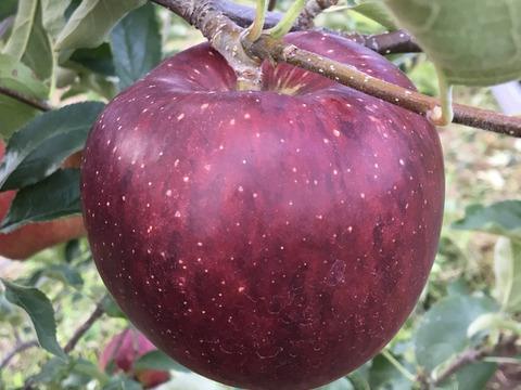【先行予約】秋映 シャキッと美味しい秋りんご 贈答品(11個から14個)