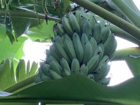 予約販売3ヶ月〔自然栽培〕バナナ2kg