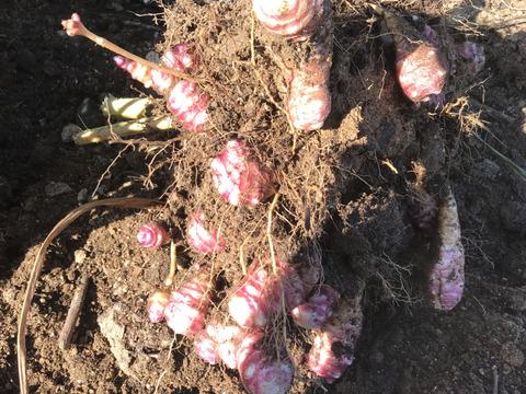 【大阪産】紫菊芋(無農薬) 5KG