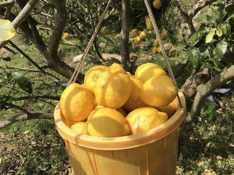 【レモンなのに甘夏サイズ】皮ごと安心!エビス農園の無人島レモン(5㎏)