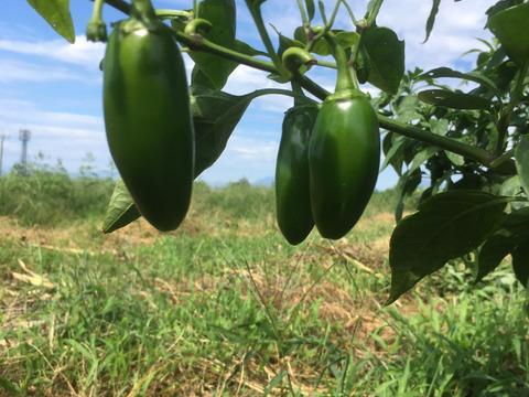 【旨辛】群馬県産、農薬不使用のハラペーニョ 1kg