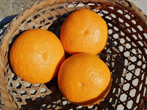 千葉南房総産の紅甘夏 ご贈答用  箱入9.5kg 農薬不使用