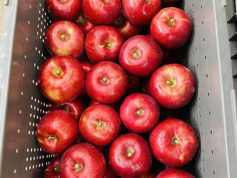 【アップルパイリンゴ】紅玉3キロ箱 加工におすすめ10〜15玉