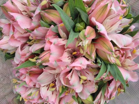 単色 アルストロメリアの花束(ピンク 10本)