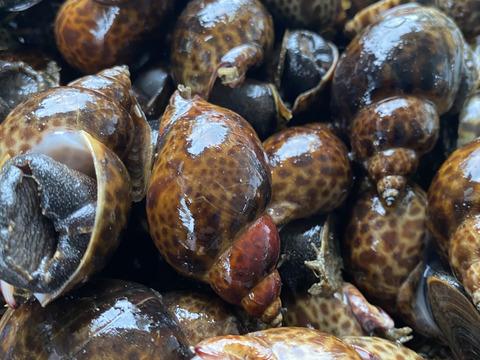 【初回様限定お試し価格】漁師直送!大粒黒ばい貝(2kg)