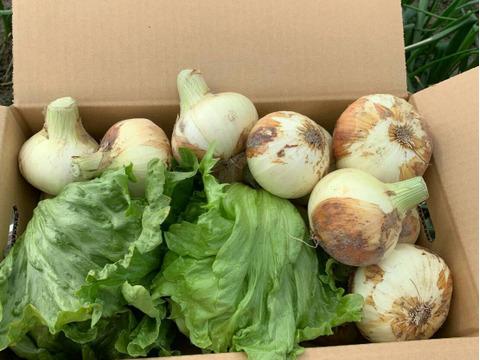 新玉ねぎ2kgとレタス2個のセット❗️淡路島のシャキシャキレタスと旬の新玉ねぎ🧅特別栽培農産物