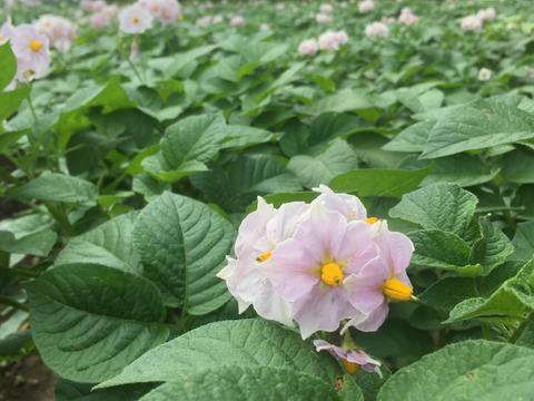 今年も穫れました!ホックホク『男しゃく』 さん(3kg) 癒しの野菜 【栽培期間中 肥料・農薬・たい肥不使用】
