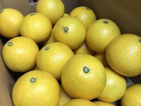 (予約販売セール中200円引き)ニューサマーオレンジ『日向夏』 秀品4.5キロ 4月19日より順次発送